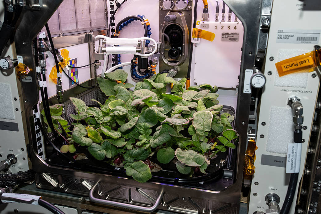 nasa growing radishes